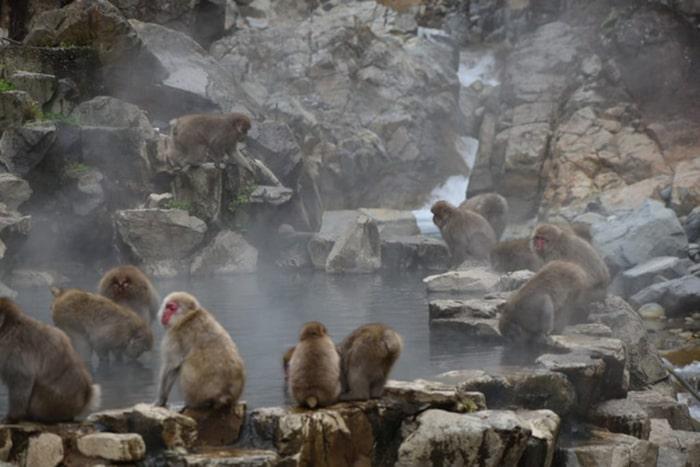 Snow Monkey Park - Nơi ngắm những chú khỉ tuyết khỏa thân tại Nhật Bản
